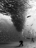 A School of Fish Circle Divers in the Sea of Cortez, Mexico. Reprodukcja zdjęcia autor Christian Vizl