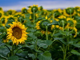 Front Range Sunflower Farm Photographic Print by Daniel Gambino