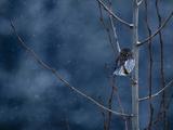 Pygmy Owl Photographie par Steven Gnam