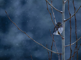 Pygmy Owl Fotoprint van Steven Gnam