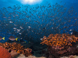 Coral and Fish in Baja, California. Photographic Print by Christian Vizl