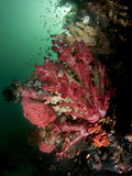 A Reef Scene with Red Soft Coral and Green Water in Triton Bay/Raja Ampat.. Photographic Print by Andy Lerner