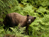 A Brown Bear Searches for Salmon at Anan Creek in the Tongass National Forest of Southeast Alaska. Photographic Print by Randall Tate