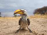 Closeup Portrait of a Yellow-Billed Hornbill Central Khalahari Game Reserve, Botswana Photographic Print by Karine Aigner
