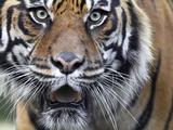 Extreme Closeup Portrait of a Male Sumatran Tiger. Reprodukcja zdjęcia autor Karine Aigner