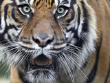 Extreme Closeup Portrait of a Male Sumatran Tiger. Photographic Print by Karine Aigner