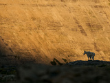 A Mountain Goat Stands Silhouetted Against Golden Light in Glacier National Park, Montana. Photographic Print by Steven Gnam
