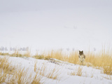 Coyote in Tall Grass and Snow Photographic Print by Mike Cavaroc