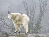 Mountain Goat, Ingalls Lake, Alpine Lakes Wilderness, Washington. Photographic Print by Ethan Welty
