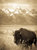 Bison in Grand Teton National Park Wyoming Reproduction photographique par Justin Bailie