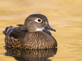 A Female Wood Duck (Aix Sponsa) on a Small Pond in Southern California. Photographic Print by Neil Losin