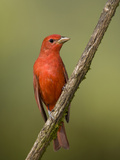 A Male Summer Tanager (Piranga Rubra) at Las Cruces Biological Station, Costa Rica. Photographic Print by Neil Losin