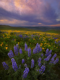 Colorful Sunrise over the Wildflowers of the Columbia River Gorge in Washington Photographic Print by Miles Morgan
