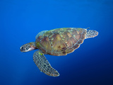 Chelonia Mydas Photographic Print by Jeff Yonover