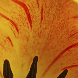 Detail of Tulip in Garden in Fuquay Varina, North Carolina Photographic Print by Melissa Southern