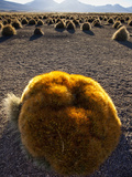 A Large Ball Cactus Survives on the Cold, Wind-Blown Altiplano I Photographic Print by Sergio Ballivian