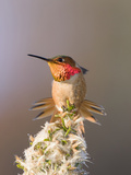 A Male Allen'S Hummingbirdstretches and Displays its Colorful Gorget Photographic Print by Neil Losin