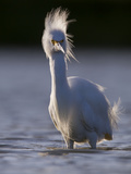 A Snowy Egret (Egretta Thula) in a Southern California Coastal Wetland. Photographic Print by Neil Losin