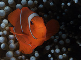 A Spinecheek Anemonefish in the Solomon Islands. Photographic Print by Andy Lerner