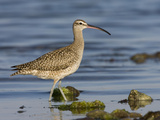 A Whimbrel (Numenius Phaeopus) on the Southern California Coast. Photographic Print by Neil Losin