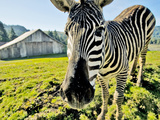 Zebra, Petrolia California. Photographic Print by Bennett Barthelemy