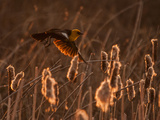 Yellow-Headed Blackbird Flying Among Cattails.  Montana. Photographic Print by Steven Gnam