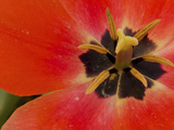 Opened Tulip at Sarah P. Duke Gardens in Durham, North Carolina Photographic Print by Melissa Southern