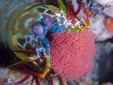 Odontactylus Scyllarus Photographic Print by Jeff Yonover