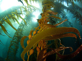 Chanthe View Underwater Off Anacapa Island of a Kelp Forest. Photographic Print by Ian Shive