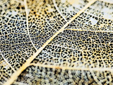 A Leaf That Has Worn Away Leaving a Lattice Like Skeleton. Photographic Print by Bennett Barthelemy