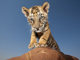 Portrait of a Bengal Tiger Cub Posing on a Rock Against a Blue Sky.  South, Africa. Photographic Print by Karine Aigner