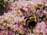 Bee on Flower Collecting Pollen, Ct Photographic Print by Daniel Gambino