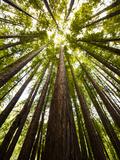 Trees in Mt. Tamalpais State Park, Adjacent to Muir Woods National Monument in California Reprodukcja zdjęcia autor Carlo Acenas