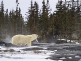 Searching Polar Bear Photographic Print by Mike Cavaroc