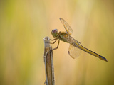 Golden-Winged Skimmer are Beautiful, Very Territorial Skimmers, South Carolina Photographic Print by Clay Bolt