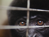 Captive Wooley Monkeys Being Rehabilitated in There Cage Photographic Print by Patrick Brooks Brandenburg