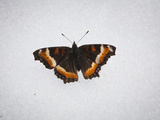 A Butterfly on the Snow in Chugach State Park, Alaska. Photographic Print by Ethan Welty