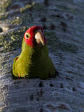 A Red-Masked Parakeet (Aratinga Erythrogenys) in South Florida. Photographic Print by Neil Losin