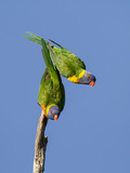 Two Rainbow Lorikeets in Southwest Australia. Photographic Print by Neil Losin