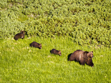 Grizzly Bear No.399 and Cubs in Willow Flats Photographic Print by Mike Cavaroc