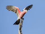 A Galah (Eolophus Roseicapilla) Landing in Southwest Australia. Photographic Print by Neil Losin