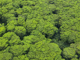 Aerial View of Invasive Albizia Trees (Falcataria Moluccana) on Kauai, Hawaii. Photographic Print by Ethan Welty