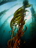 Channel Islands National Park, California: the View Underwater Off Anacapa Island of a Kelp Forest Photographic Print by Ian Shive