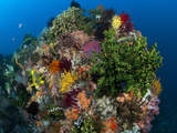 Ribbon Sweetlips on Coral Head with Healthy Soft Corals and Feather Stars..Shot in Indonesia Photographic Print by Jeff Yonover