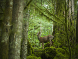 Black Tailer Deer, Washington Photographic Print by Ethan Welty