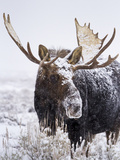 Bull Moose Covered in Snow Photographic Print by Mike Cavaroc
