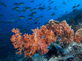 Sloping Reef and Sleek Unicornfishes..Shot in Indonesia Photographic Print by Jeff Yonover