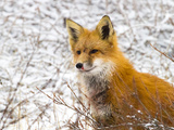 Wounded Red Fox Photographic Print by Mike Cavaroc