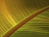 Detail of Banana Leaf at the North Carolina Zoological Park in Asheboro, North Carolina Photographic Print by Melissa Southern