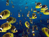A School of Raccon Butterflyfish in Hawaii. Photographic Print by Andy Lerner